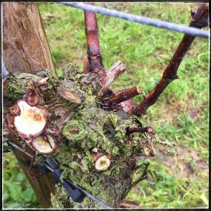 wijngaard snoeien